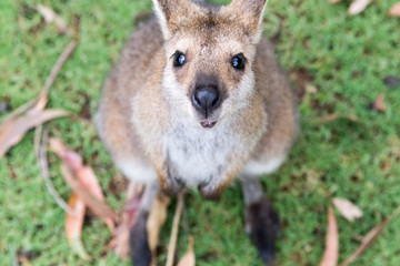 cute Australian kangaroo