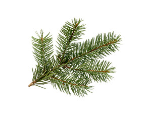 Fir tree branch. Pine branch.