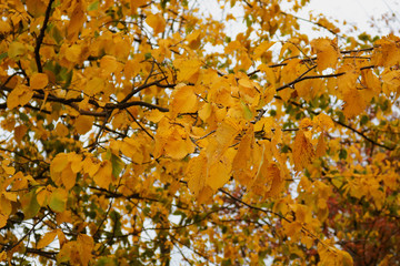 branch of a tree with autumn yellow leaves