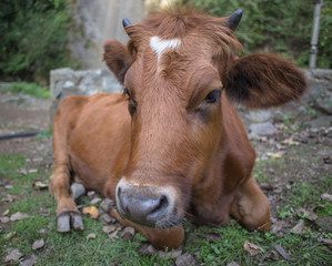 Brown cow lies on the grass in the village
