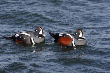 Fotoväggar - Harlequin Ducks