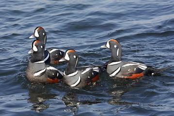 Fotoväggar - Harlequin Ducks (histrionicus)