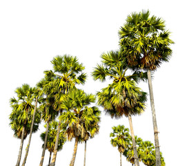 Group of sugar palm tree isolated on white background