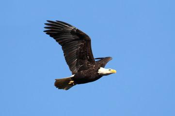 Fotoväggar - Bald Eagle (haliaeetus leucocephalus)