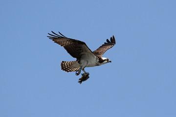 Fotoväggar - Osprey (pandion haliaetus)
