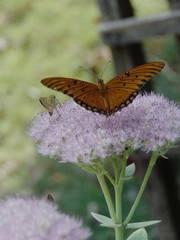 Orange and black butterfly drinking from a purple flower