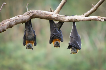 Three Grey Headed Flying Foxes Wall mural