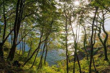 Buchenwald und Kreideküste auf Insel Rügen am Morgen im Herbst