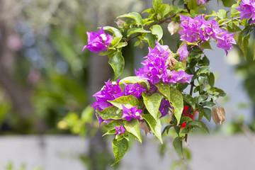 ハワイ ピンクの花