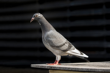 full body of homing pigeon standing on home loft
