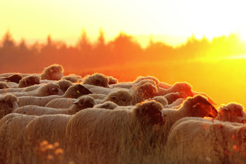 flock of sheep heading to the farm at sunset