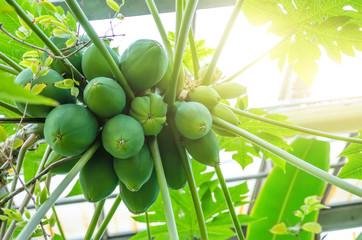 Fruit tree papaya immature in the rain forest.