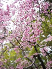 Cherry Blossom at Baan Khun Chang Kian , Chiang Mai , Thailand