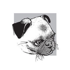 Head of dog of pug breed. Portrait of a cute pet. Black and white drawing, vector illustration in engraving style.