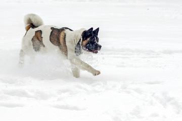 dog running in the snow. Akita