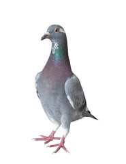 homing pigeon bird isolated white background