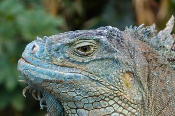 reptile closeup - green iguana / American iguana