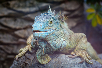 big lizard closeup - green iguana / American iguana