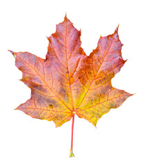 Beautiful bright red, onange and  yellow maple tree leaf isolated on white background. Golden maple tree leaf close up. Fall leaf.