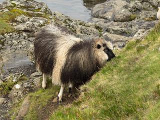 Schaf auf den Färöer Inseln