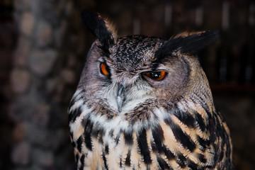 Close-up sleepy owl