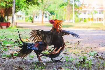 Two chickens are fighting in a temple in Surat Thani Province, Thailand