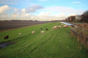 Sheep on dike along river Rotte in Moerkapelle, Netherlands