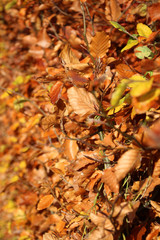 brown and orange leaves on beech hedge on the streets of Nieuwerkerk aan den IJssel Netherlands