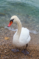 The white swan comes out of the water to the shore and looks at the photographer. Wild swan bird close-up on the shores of Lake Garda, the town of Sirmione, Italy
