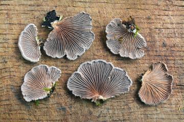 Schizophyllum commune fungus