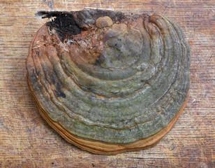 fomes fomentarius fungus