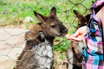 Girl is feeding a kangaroo through the bars
