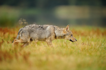 Concentrated wolf in yellow grass