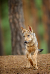 Wolf from front view in forest