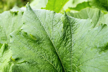 Green background of leaves. Leaf texture closeup. Gourd leaves.