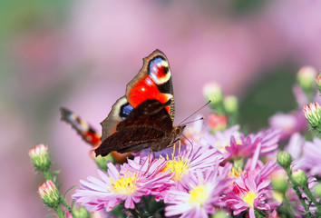 beautiful butterfly peacock sits among the delicate pink flowers on a Sunny day