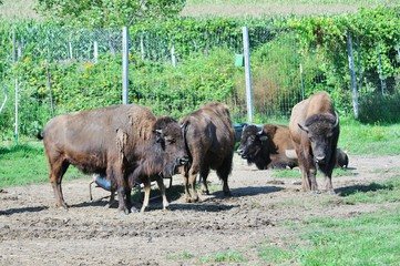 Bison on the Farm