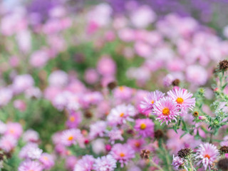 Small violet asters in the garden.