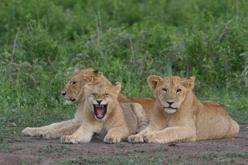 3 Lion siblings
