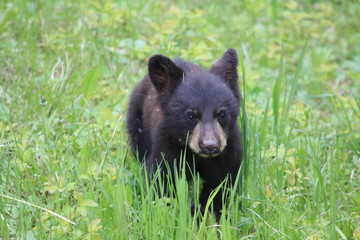 Young wild black bear in Yellowstone National Park