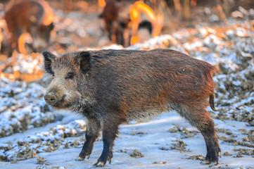 Wild boars in the winter