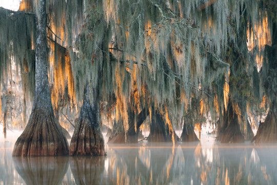 Trees of bald cypress with hanging Spanish moss in the first rays of the sun.  Louisiana, Lake Martin