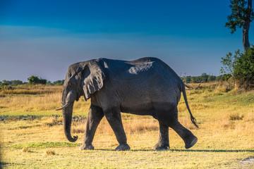 Elephant bull, Moremi Game Reserve, Okavango Delta, Botswana