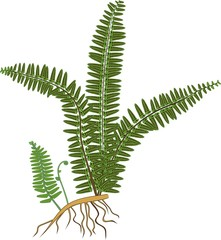 Green fern with rhizome and roots on white background