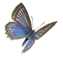 Meleager's blue (Polyommatus daphnis), female specimen in flight