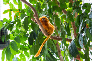 Golden lion tamarin monkey on a tree in Maryland National Aquarium