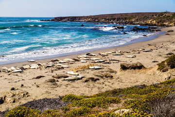 Elephant seals during mating season near San Simeon, California, USA