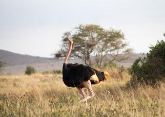 Ostrich, Tsavo