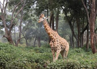 Giraffe, Kenya Wall mural
