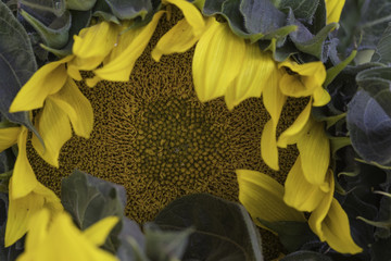 close up of a sunflower blossom